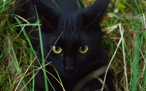 Picture cat, grass, cat, look, face, pose, black, portrait, eyes, crazed