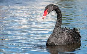 Picture look, water, bird, black, Swan, pond, swimming