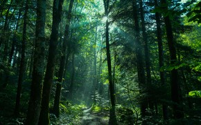 Picture forest, the sun, rays, ate, path