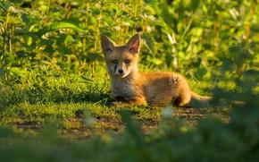 Picture grass, glade, Fox, lies, Fox, Fox
