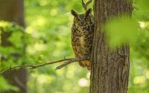 Picture greens, look, branches, nature, green, background, tree, owl, bird, foliage, bokeh, owl