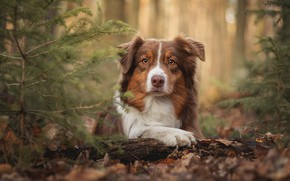 Picture autumn, forest, look, face, leaves, branches, nature, portrait, dog, lies, red, log, needles, bokeh, Aussie