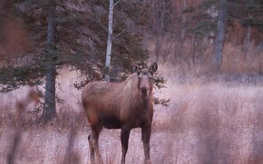 Picture forest, grass, look, face, trees, branches, pose, ate, is, moose, female, moose