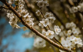 Picture the sky, flowers, branches, cherry, blur, branch, spring, Sakura, white, flowering, bokeh