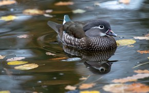 Picture autumn, leaves, water, pond, reflection, bird, grey, duck, duck, pond, swimming, female, tangerine