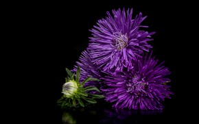 purple, macro, reflection, asters