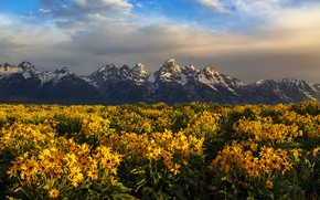 Picture field, summer, flowers, mountains, yellow, the foothills