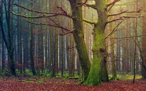 Picture forest, trees, branches, nature, trunks, foliage, moss, green, pine, mossy
