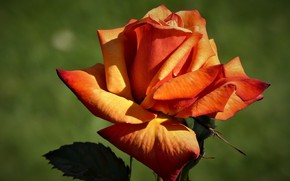 Picture background, rose, brown