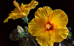 Picture leaves, petals, black background, buds, yellow, closeup, hibiscus