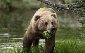 Wallpaper summer, grass, look, face, leaves, nature, pose, river, shore, portrait, branch, paws, bear, bathing, bear, ...