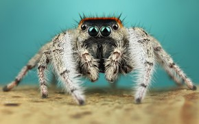 Picture eyes, macro, pose, background, legs, spider, hairy, turquoise, jumper, jumper, spider, sakunik, the Hoppy, Bouncing, …