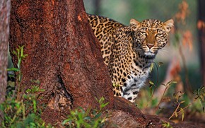 Picture look, face, light, nature, background, tree, leopard, trunk, bokeh, Peeps