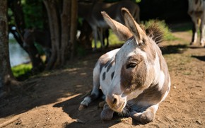Picture nature, donkey, donkey, ass