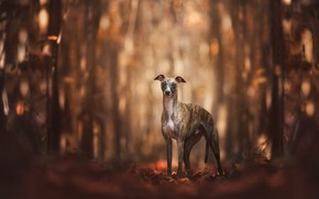 Picture autumn, forest, look, leaves, light, trees, nature, pose, Park, background, trunks, dog, walk, is, bokeh, …