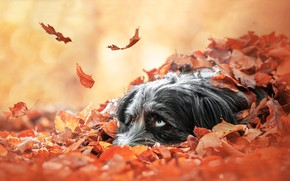 Picture autumn, look, face, leaves, foliage, dog