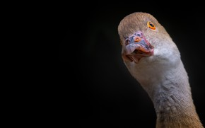 Picture bird, beak, duck