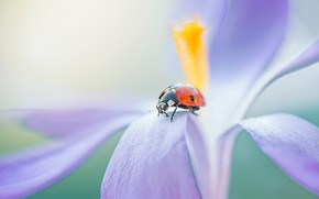 Picture red, macro, bug, background, blur, lilac, ladybug, flower, petals, on the flower, beetle, insect, Krokus