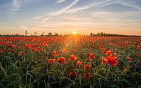 Picture field, the sky, the sun, clouds, rays, landscape, sunset, flowers, nature, Mac, rye, Maki, the …
