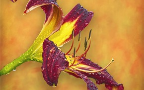 Picture flower, Burgundy, daylilies
