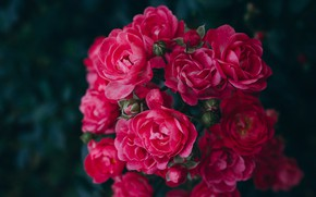 Picture flowers, the dark background, roses, garden, red, pink, bokeh, rose Bush