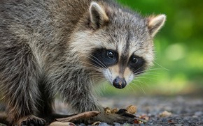 Picture look, pose, raccoon, face