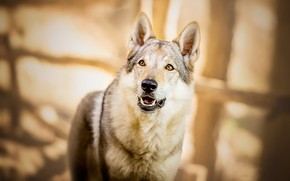 Picture look, face, light, pose, glare, grey, background, mood, wolf, portrait, dog, large, dog, mouth, fangs, …