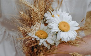 Picture flowers, chamomile, bouquet, ears