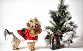 Picture look, holiday, dog, Christmas, costume, lantern, white background, New year, herringbone, face, dog, Christmas decorations, …