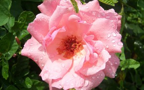 Picture flower, rose, pink rose, Meduzanol ©