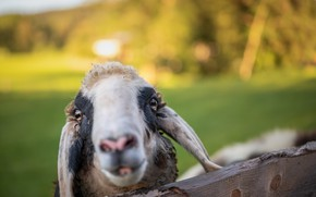 Picture face, background, sheep