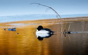 Picture pose, bird, branch, pond, Loon