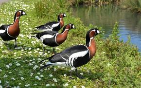 Picture flowers, birds, shore, duck, spring, walk, river, company, pond, kamenushka