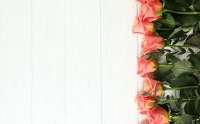 Picture white, background, roses, orange, Atlascompany