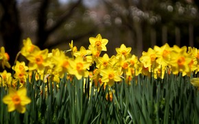 Picture leaves, flowers, the dark background, spring, yellow, garden, flowerbed, a lot, daffodils, bokeh