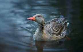 Picture look, water, grey, background, bird, pond, goose, swimming, circles on the water