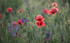 Picture Maki, meadow, cornflowers