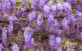Picture flowers, branches, nature, background, stems, color, beauty, spring, flowering, cascade, lilac, beautiful, inflorescence, lilac, blooming, …