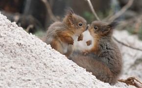 Picture kiss, a couple, proteins, cubs, squirrels
