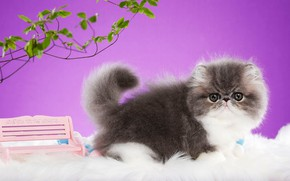 Picture cat, look, leaves, bench, branches, pose, kitty, grey, background, lilac, muzzle, shop, Persian, extreme, Studio