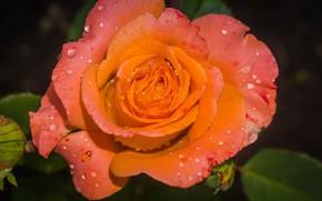 Picture macro, rose, orange, water drops