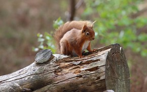 Picture look, nature, pose, background, protein, log, squirrel, bokeh