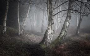 Picture nature, fog, birch