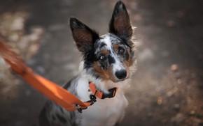 Picture road, look, face, light, background, portrait, dog, leash, bokeh, the border collie