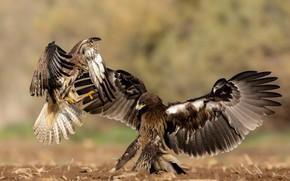 Picture birds, nature, predators, fight, Michael Faiman