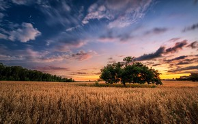 Wallpaper field, summer, sunset, tree