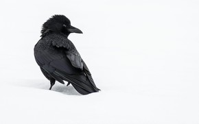 Picture winter, snow, bird, Raven, crow