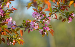 Picture macro, branch, spring, Apple, flowering, flowers, bokeh, branch of Apple