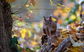 Picture autumn, leaves, nature, pose, foliage, protein, rodent