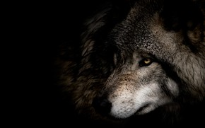 Picture look, face, close-up, grey, wolf, portrait, profile, black background, in the dark